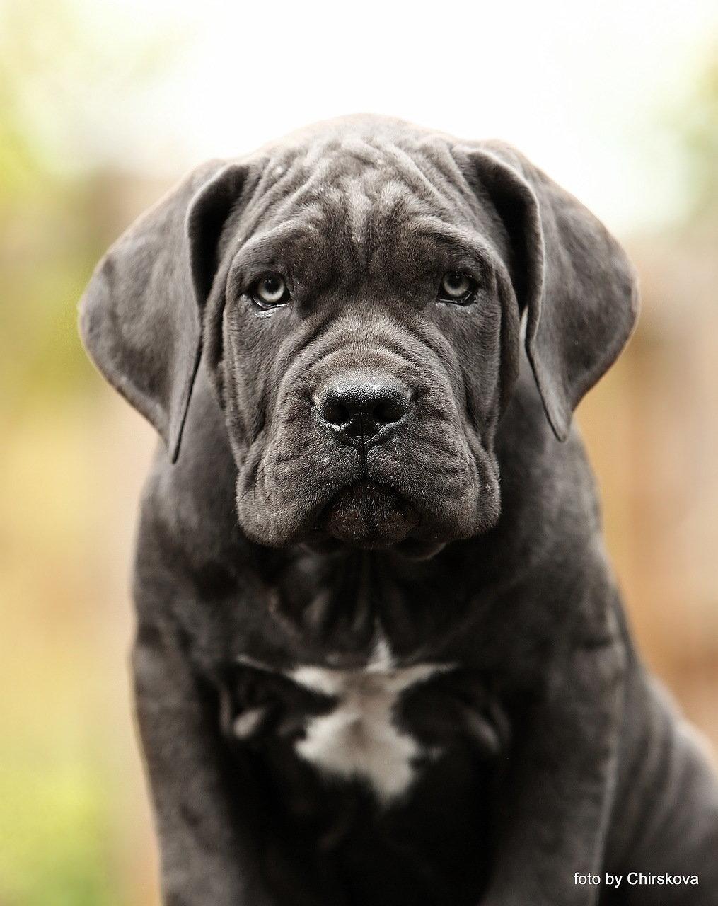 лого, фото собак кане корсо серого цвета эти жидкости